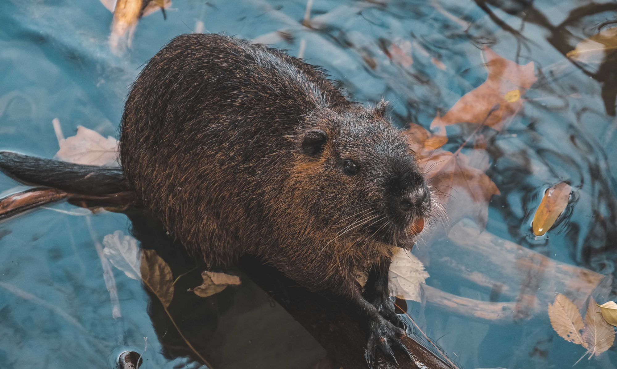 Beaver Magazine